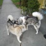 Husky Reunion