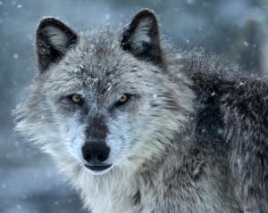 Team Wolf!