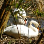 Stanley Park's Mute Swans