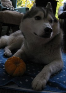 Why is Pumpkin Good for Dogs?