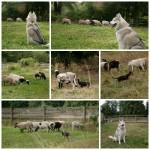 Sheep Herding For All Breeds