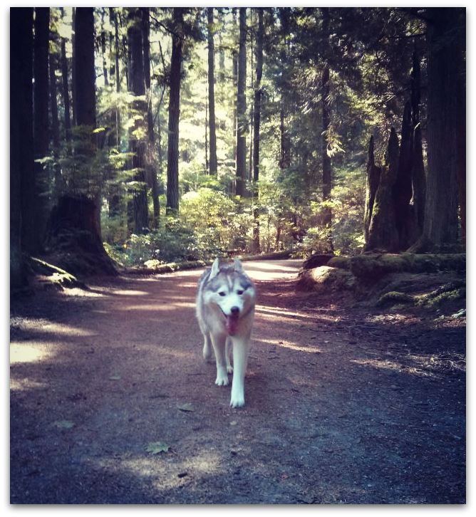 Siberian Husky hiking in the forest at Pacific Spirit Regional Park