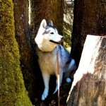 Wordless Wednesday: Tree Husky