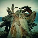 Wordless Wednesday: Driftwood