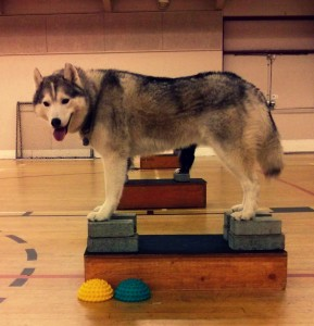 Training Thursday: How to Properly Stack Your Dog