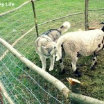 Wordless Wednesday: Sheep Herding Fail