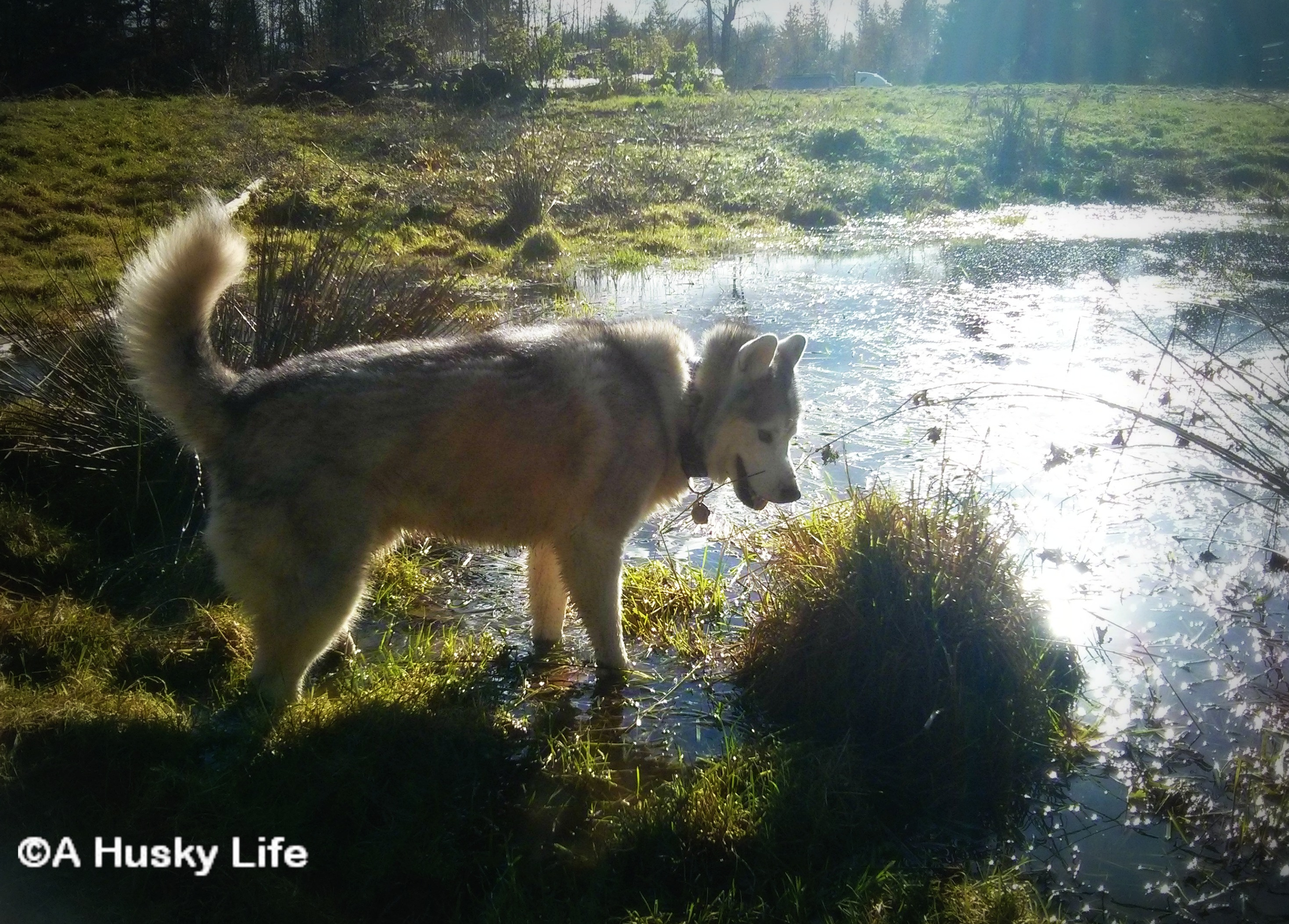 Siberian Husky in a pond looking for frogs.