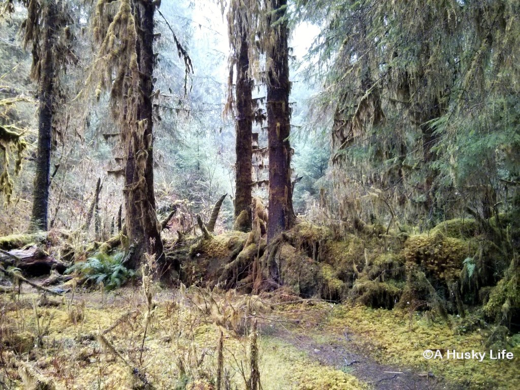 Mossy trees in Hoh National Rainforest.