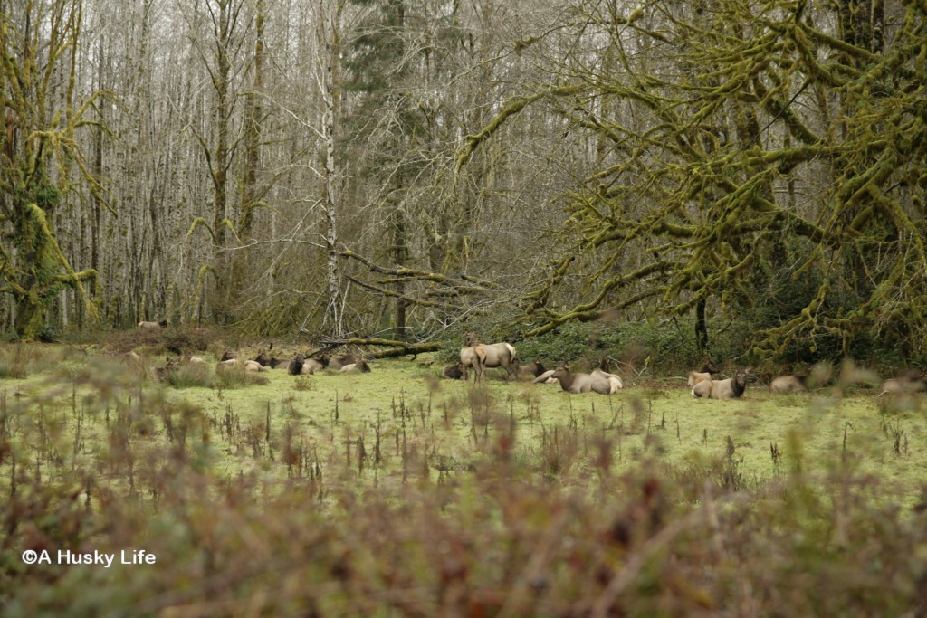Roosevelt Elk at Hoh National Rainforest.