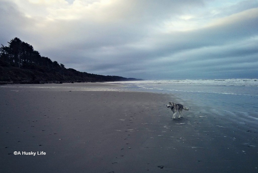 Rocco exploring the beach by Kalaloch Lodge.