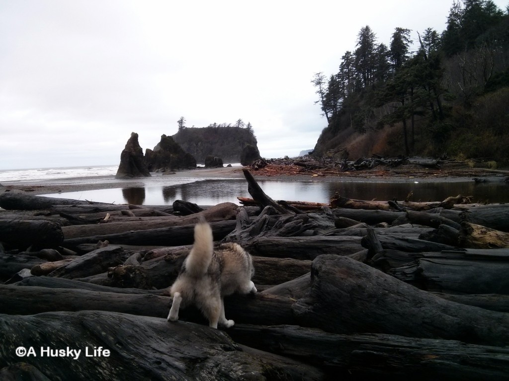 Rocco climbing logs to get to Ruby beach.
