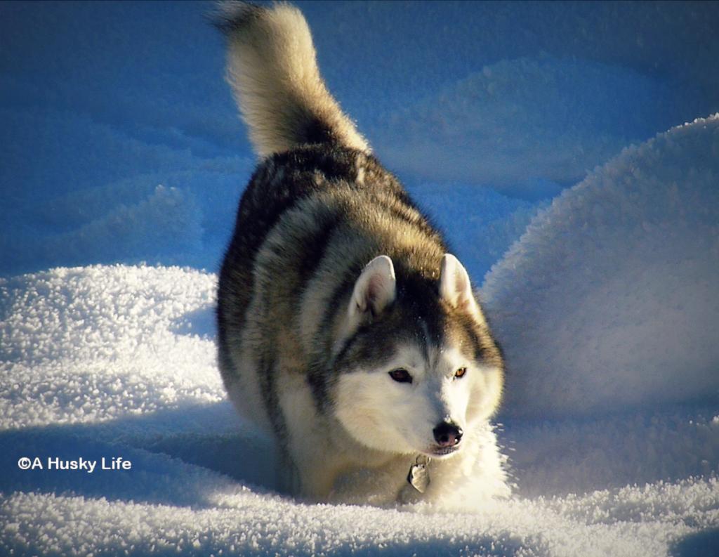 Siberian Husky dashing through the snow