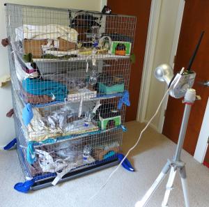 About Pet Rats