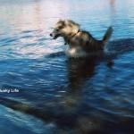 Wordless Wednesday: Water Husky