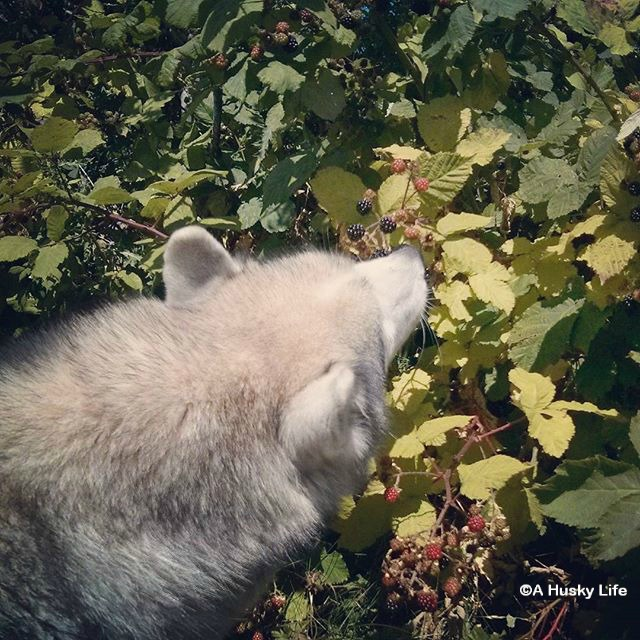 Rocco picking blackberries off the bush