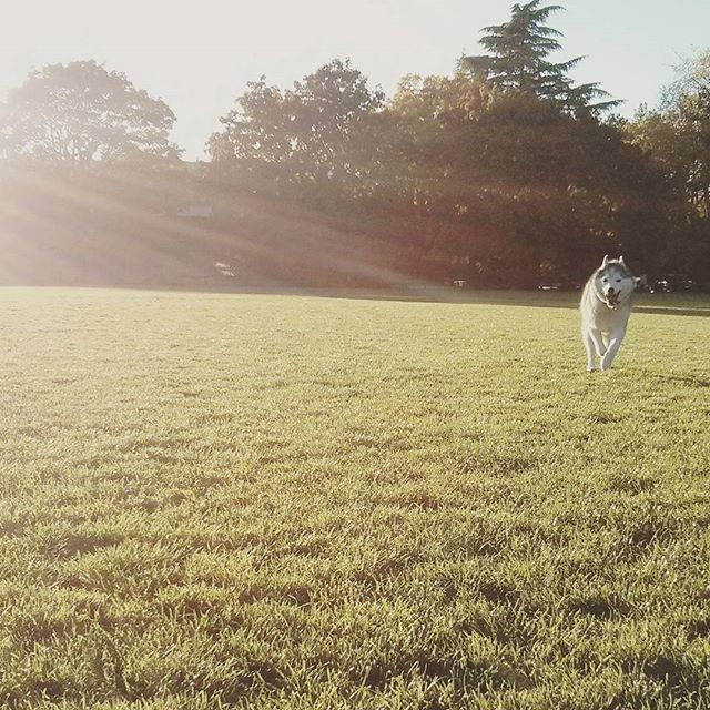Rocco running through a field.