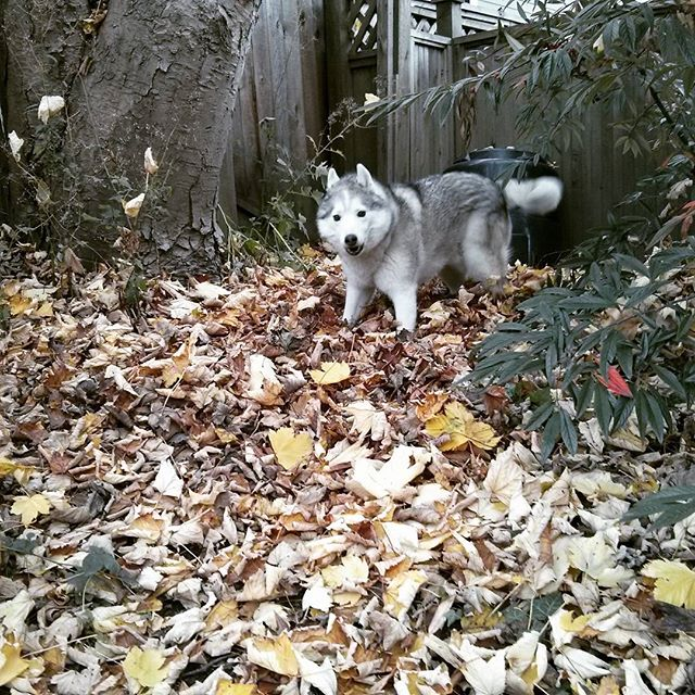Rocco playing in a pile of leaves